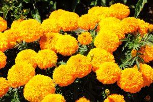Best Marigolds in UAE