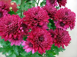 Best Chrysanthemums in UAE