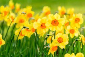 Best Daffodils in UAE