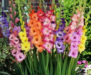 Best Gladioli in UAE