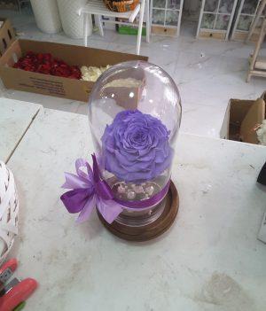 Alluring Rose